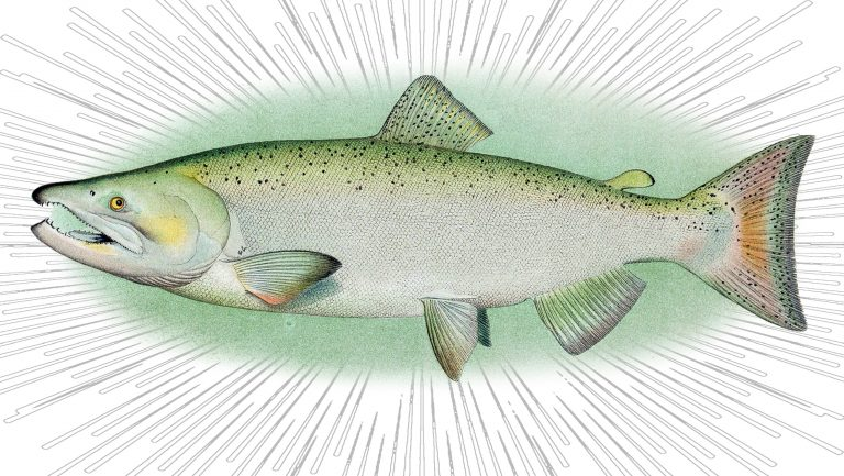 A colorful illustration of Salmon