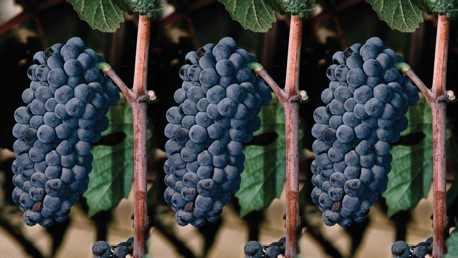 How Do Winemakers Select the Best Pinot Noir Clone ...