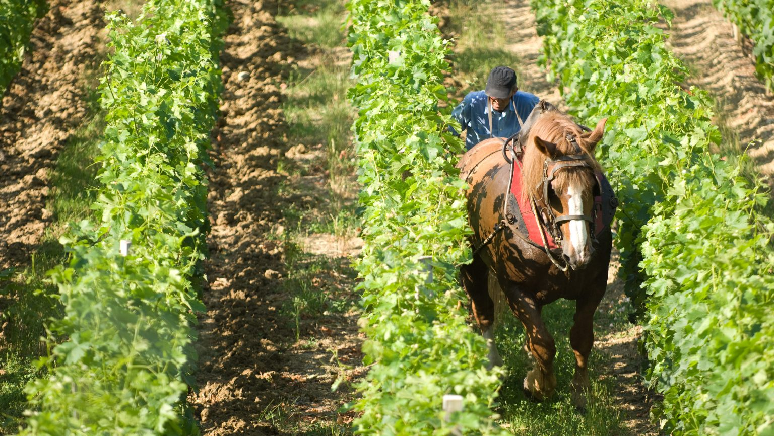 man on horseback vineyards in Bordeaux
