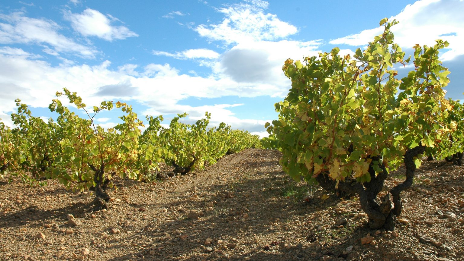 vineyards in Roussillon, France