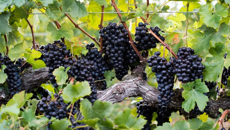 Petit Verdot in Veritas Vineyards