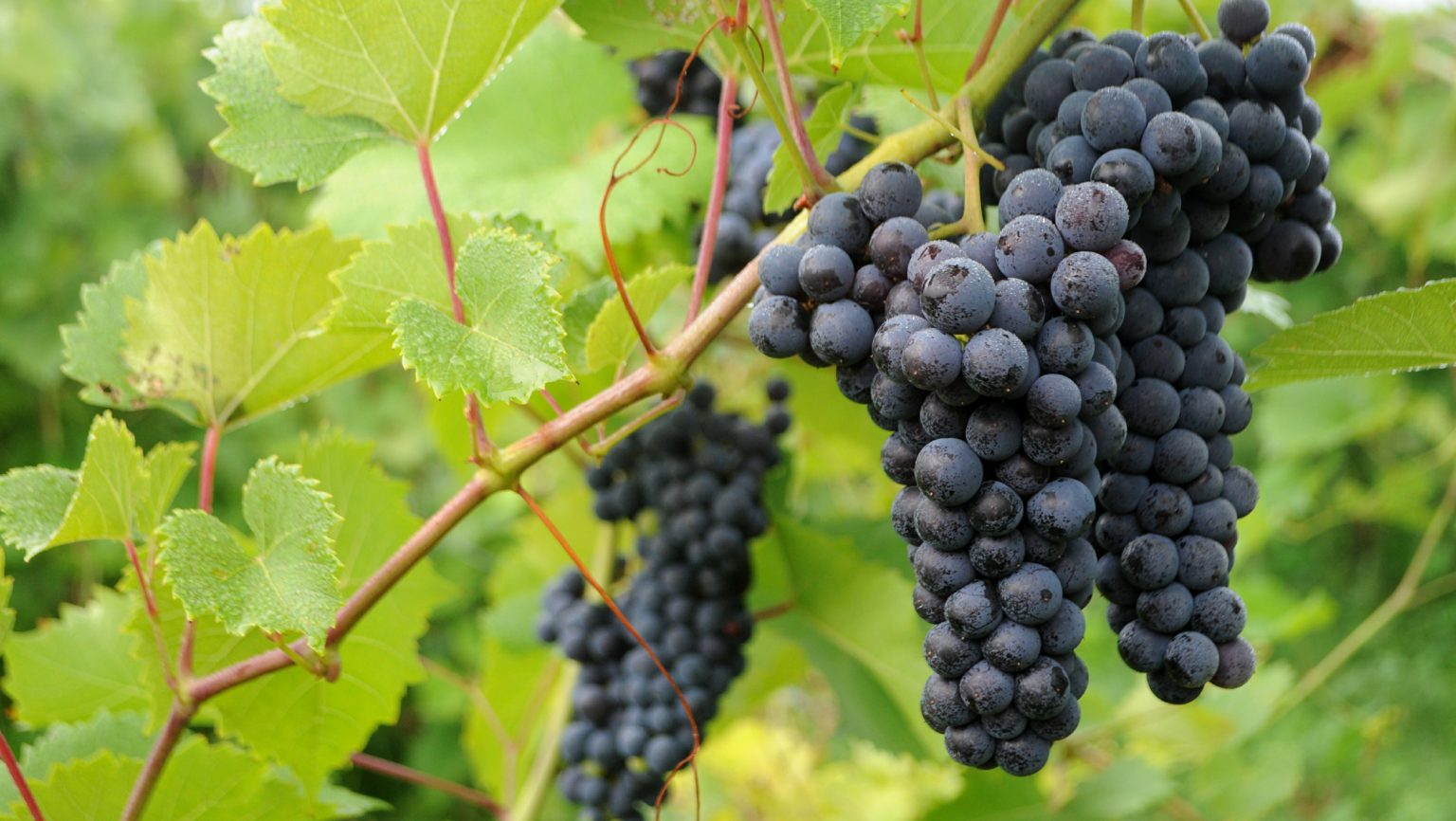 Exploring the Potential for Hybrid Grapes in Cold Climates