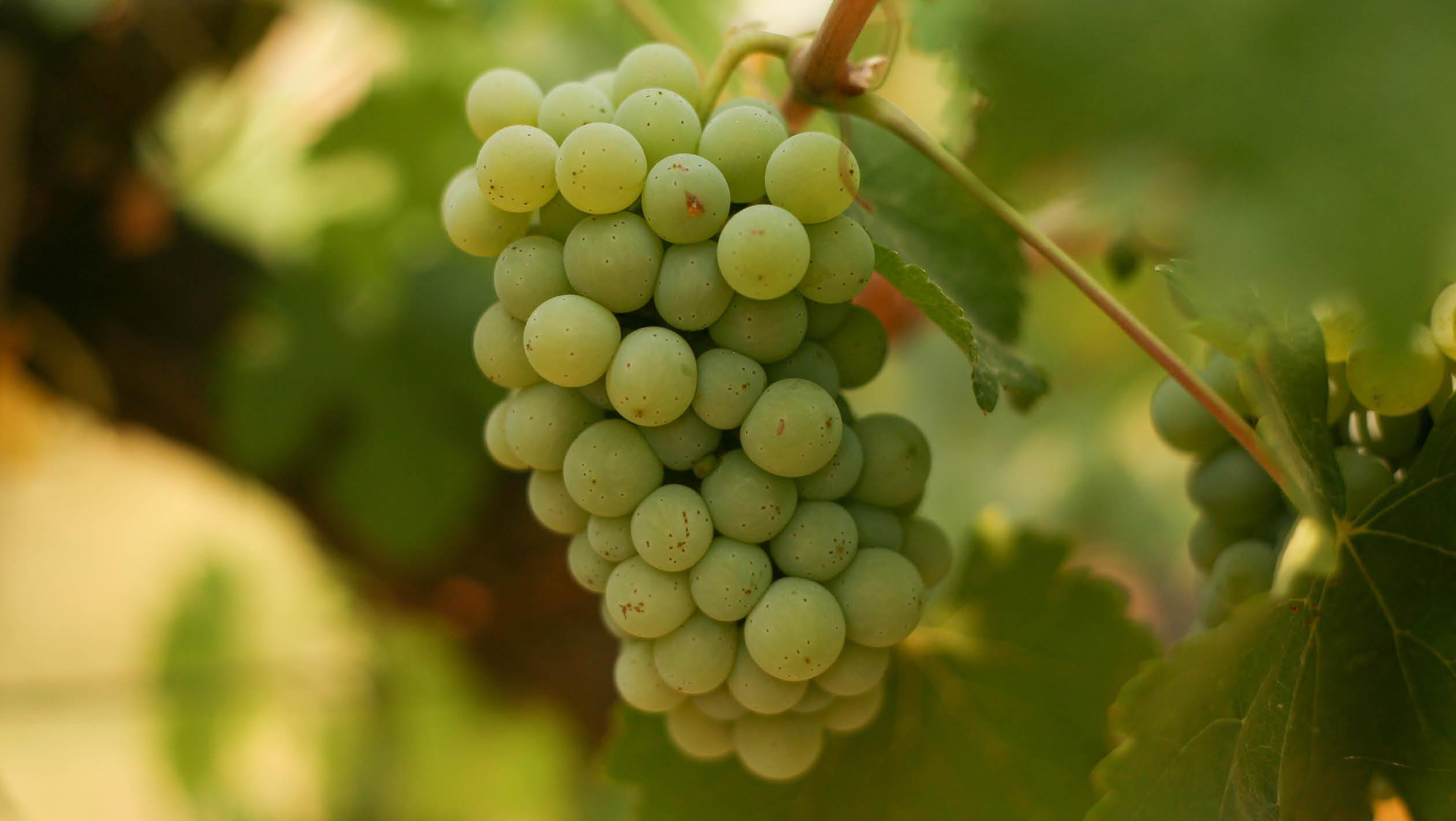 Why the Chenin Blanc Grape is Making a Comeback in California ...