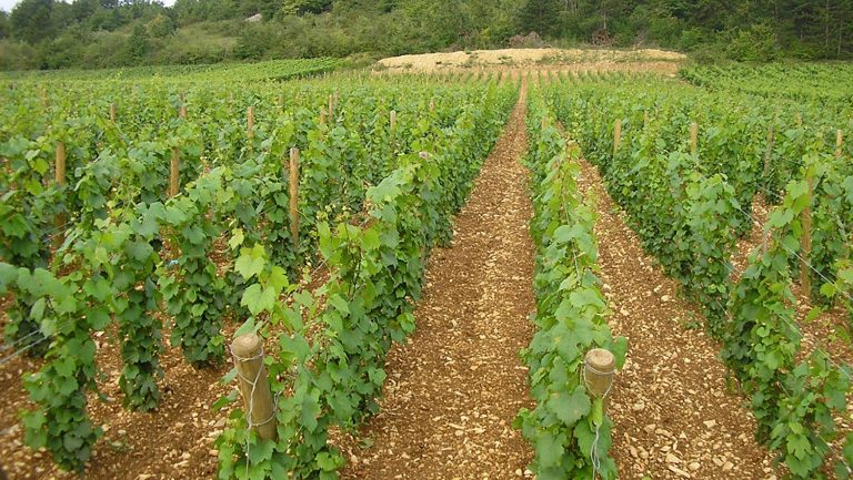 vineyards in Domaine Lamy