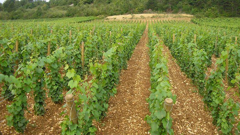 vineyards in Domaine Lamy