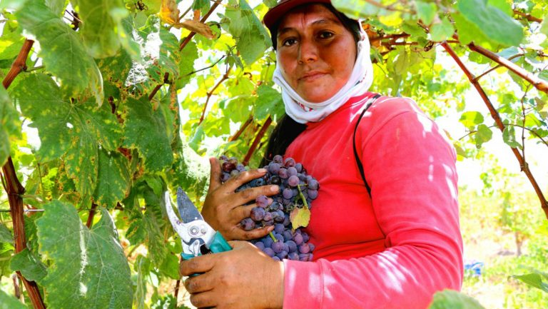 Peruvian Quebranta grapes