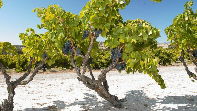 Yangarra Estate Vineyard