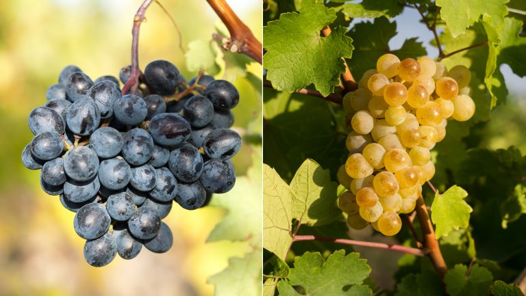 Areni and Voskeat grapes