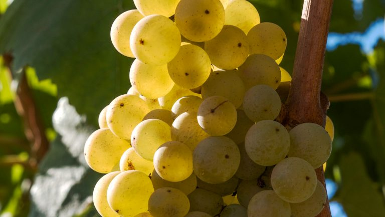 Why American Winemakers Are Embracing Melon de Bourgogne | SevenFifty Daily