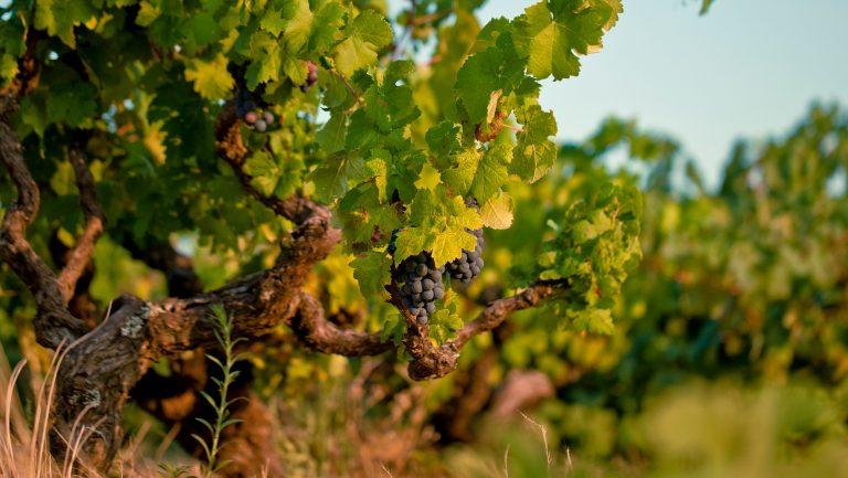Vineyard in the Dão region