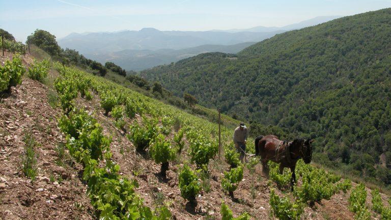 Bierzo vineyard