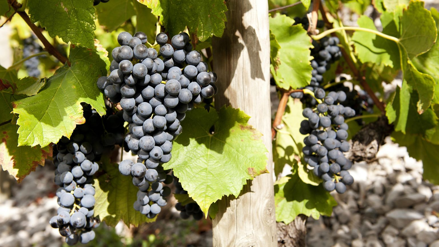 Why Mondeuse Is Gaining Popularity Among U.S. Somms