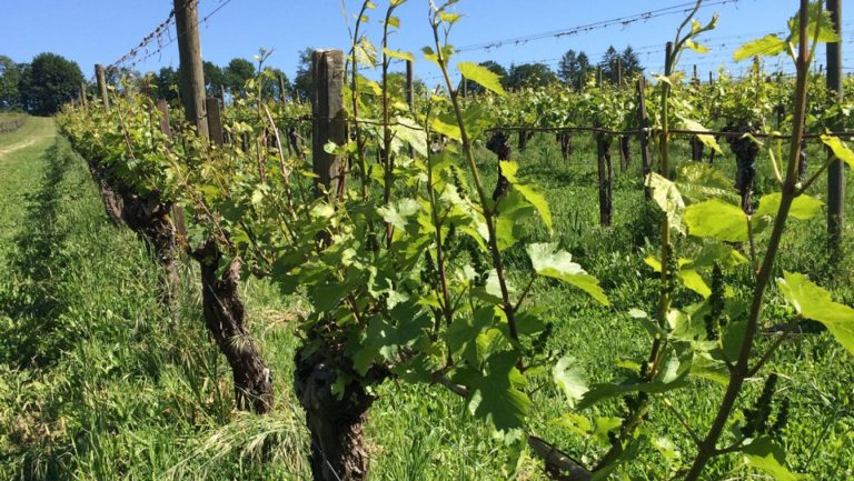 Vines at Eyrie Vineyards
