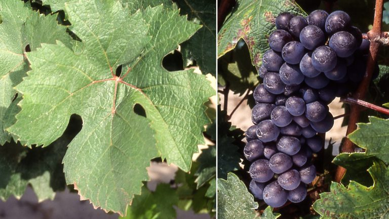 Pineau d'Aunis leaf and grapes.