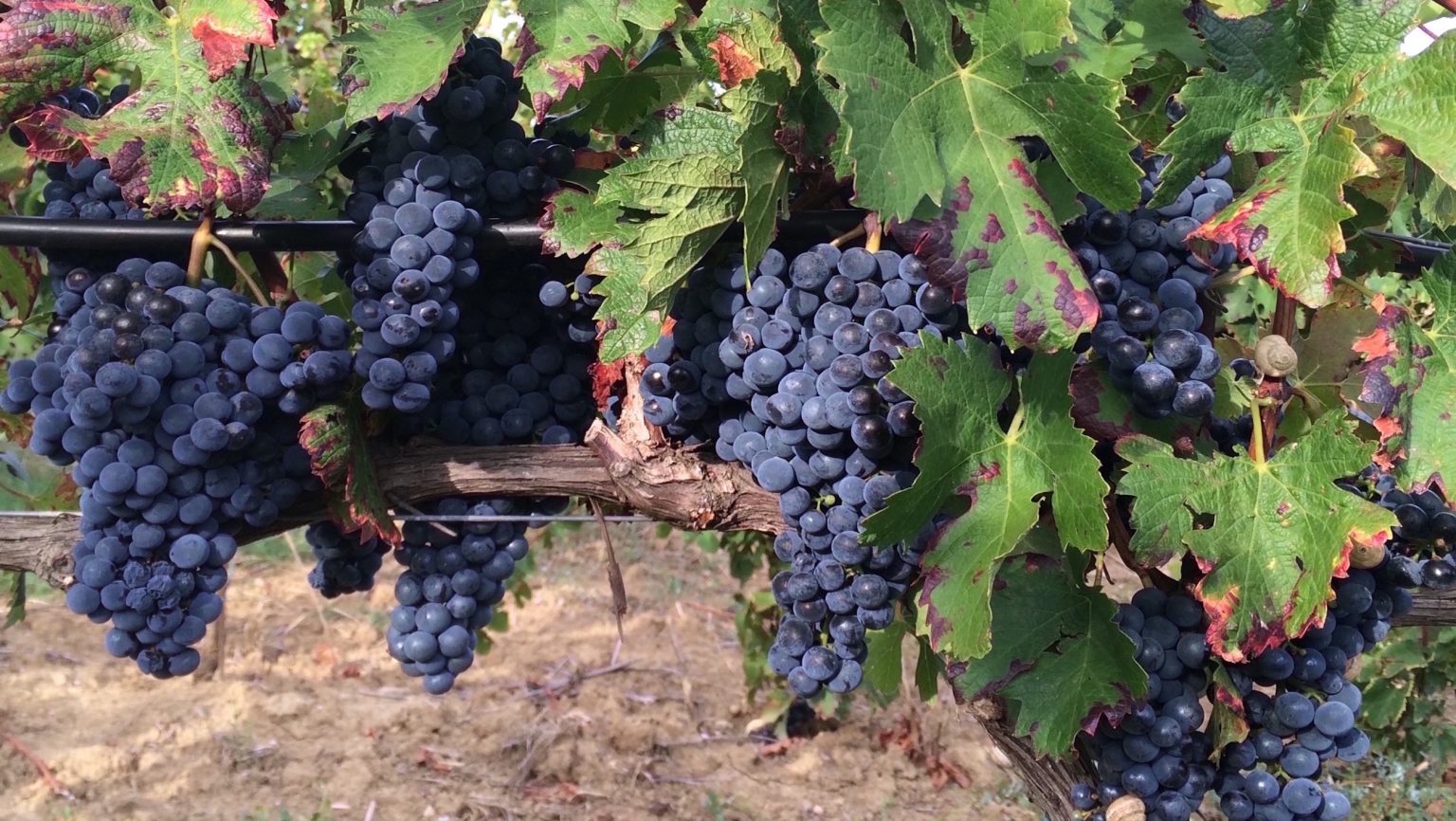 Creating Wine Grapes that Can Withstand Climate Change ...
