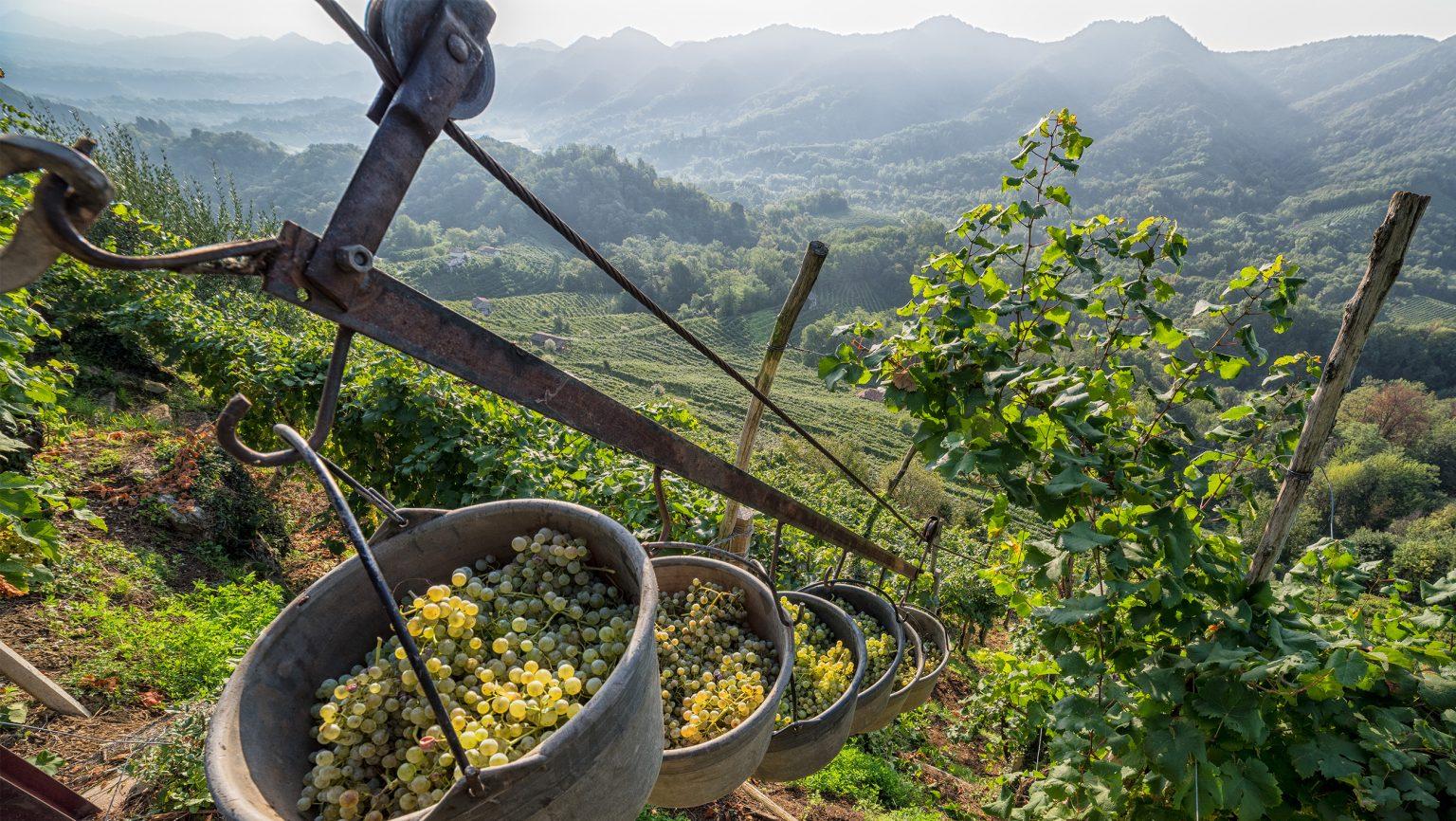 SFD ProseccoDOCG Heroic harvest in the hills of Conegliano Valdobbiadene Prosecco Superiore Docg CR Arcangelo Piai slideshow 2520x1420 1536x866.